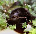 A gorillák és a mûholdak